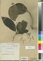 Isotype of Beilschmiedia purpurea Elmer [family LAURACEAE]