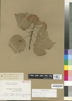 Isotype of Dombeya bruceana A. Rich. [family STERCULIACEAE]