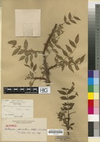 Isotype of Zanthoxylum pteracanthum Rehder & E.H. Wilson [family RUTACEAE]