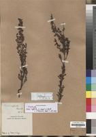 Type? of Erica suffulta J.C. Wendl. ex Benth. [family ERICACEAE]