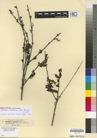 Isotype of Cytisus cantabricus (Willk.) Rchb. f. & Beck [family LEGUMINOSAE/FABACEAE]