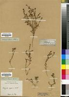 Filed as Corrigiola capensis Willd. [family CARYOPHYLLACEAE]
