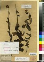 Isotype of Bothriocline muschlerana Wild & Pope [family COMPOSITAE/ASTERACEAE]