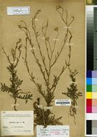 Isotype of Volutaria canariensis Wagenitz [family COMPOSITAE/ASTERACEAE]