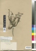 Filed as Jamesbrittenia argentea (L. f.) Hilliard [family SCROPHULARIACEAE]