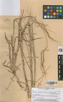 Filed as Heteropogon contortus (L.) P. Beauv. ex Roem. & Schult. [family GRAMINEAE]
