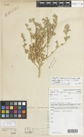 Isotype of Atriplex leptocarpa R.H.Anderson f. [family NOT ON SHEET]