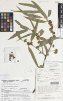 Isotype of Eucalyptus willisii Ladiges, Humphries & Brooker [family NOT ON SHEET]
