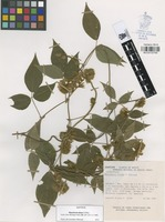 Isotype of Rhynchosia elisae O. Téllez [family FABACEAE]