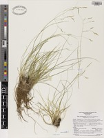 Isotype of Stipa shoshoneana Curto & Douglass M. Hend. [family POACEAE]