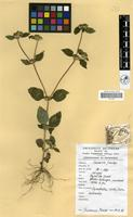 Filed as Synedrella nodiflora Gaertn. [family COMPOSITAE]