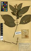Filed as Ruellia primuloides (T.Anderson ex Benth.) Heine [family ACANTHACEAE]