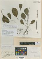 Isolectotype of Peperomia conulifera Trel. ex Stehle and L. Quentin var. tenuispica Trel. ex Stehle and L. Quentin [family PIPERACEAE]