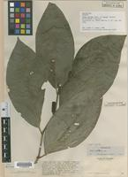 Isotype of Piper bellum Yunck. [family PIPERACEAE]