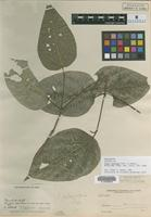Isotype of Piper planipes Trel. [family PIPERACEAE]