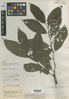 Isotype of Piper metanum Trel. and Yunck. [family PIPERACEAE]