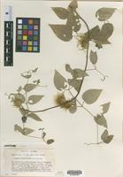 Isotype of Clematis morefieldii Kral [family RANUNCULACEAE]