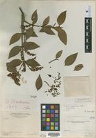 Holotype of Phoradendron woodsonii Trel. [family VISCACEAE]