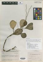 Holotype of Peperomia yousei Trel. [family PIPERACEAE]