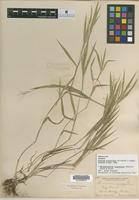 Isotype of Panicum praecocius Hitchc. and Chase [family POACEAE]
