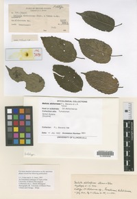 Holotype of Meliola alchorneae F. Stevens and Tehon [family MELIOLACEAE]