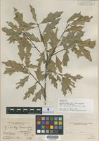 Holotype of Quercus canbyi Trel. f. concolor Trel. and C. H. Mull. [family FAGACEAE]