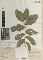 Holotype of Piper illudens Trel. [family PIPERACEAE]