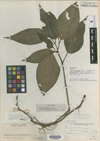 Isotype of Piper cararense Trel. and Yunck. var. productipes Trel. and Yunck. [family PIPERACEAE]