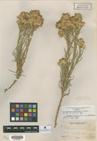 Isotype of Chrysothamnus pulcherrimus A. Nelson [family ASTERACEAE]
