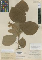 Isotype of Tilia arsenei Bush [family TILIACEAE]