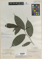 Isotype of Piper flagellicuspe Trel. and Yunck. [family PIPERACEAE]