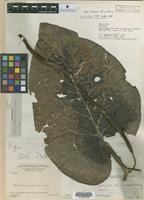 Holotype of Piper gigas Trel. [family PIPERACEAE]