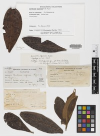 Holotype of Lembosia rapaneae R. W. Ryan [family ASTERINACEAE]