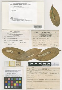 Holotype of Colletotrichum smilacinae Tehon and E. Y. Daniels [family GLOMERELLACEAE]