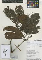 Isotype of Meliosma sumacensis A. H. Gentry [family SABIACEAE]