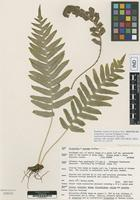 Isotype of Polypodium × aztecum Windham & Yatsk. [family POLYPODIACEAE]