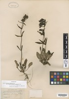 Type of Penstemon glaucus Graham var. stenosepalus A.Gray [family SCROPHULARIACEAE]