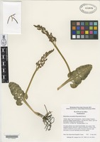Holotype of Botrychium yaaxudakeit Stensvold & Farrar [family OPHIOGLOSSACEAE]