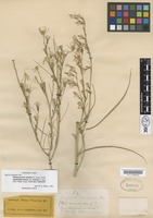 Isotype of Lygodesmia juncea (Pursh) D. Don ex Hook. var. rostrata A.Gray [family ASTERACEAE]