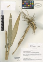 Isotype of Neurolepis laegaardii L.G.Clark [family POACEAE]