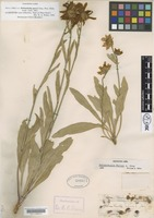 Type of Helianthella parryi A.Gray [family ASTERACEAE]