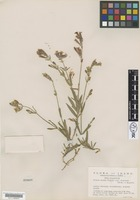 Type of Silene repens Patrin subsp. australis C.L.Hitchc. & Maguire [family CARYOPHYLLACEAE]