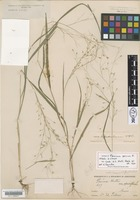 Isotype of Panicum parcum Hitchc. & Chase [family POACEAE]