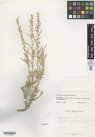 Isotype of Atriplex welshii C.A.Hanson [family CHENOPODIACEAE]
