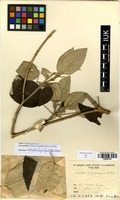 Croton megalocarpus in Global Plants on JSTOR