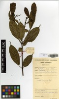 Filed as Thomandersia laurifolia (T.Anderson ex Benth.) Baill. [family ACANTHACEAE]