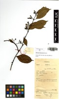 Filed as Baissea leonensis Benth. [family APOCYNACEAE]