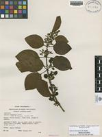 Holotype of Sabicea chocoana C. M. Taylor [family RUBIACEAE]
