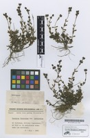 Holotype of Veronica fruticans Jacq. subsp. cantabrica M.Laínz [family SCROPHULARIACEAE]