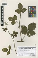 Syntype of Rubus colemanni Bloxam variety weicheri Sudre [family ROSACEAE]